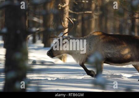 Portrait of a reindeer (Rangifer tarandus) moving through a winter forest. - Stock Image