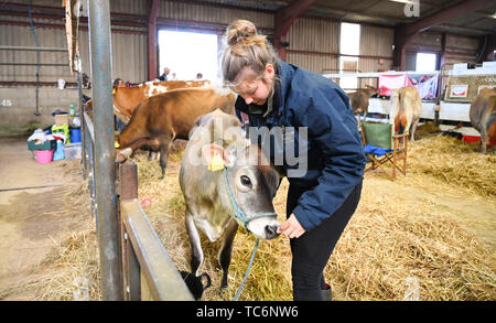 Ardingly Sussex UK 6th June 2019 - Jade Davies from Plumpton College gives a Jersey calf an ear clean ready for competition on the first day of the South of England Show held at the Ardingly Showground in Sussex. The annual agricultural show highlights the best in British farming and produce and attracts thousands of visitors over three days . Credit : Simon Dack / Alamy Live News - Stock Image