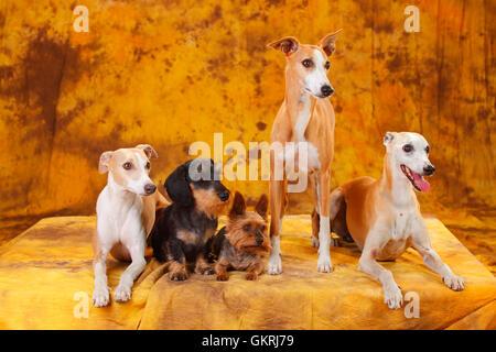 Yorkshire Terrier, Miniature Wirehaired Dachshund and Whippet|Yorkshire Terrier, Zwergrauhaardackel und Whippet - Stock Image