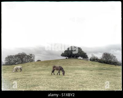 New Forest ponies feeding at Bolton's Bench, Lyndhurst, Hampshire, England, UK - Stock Image