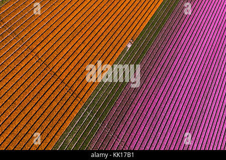 Aerial view of the tulip fields in North Holland, The Netherlands - Stock Image