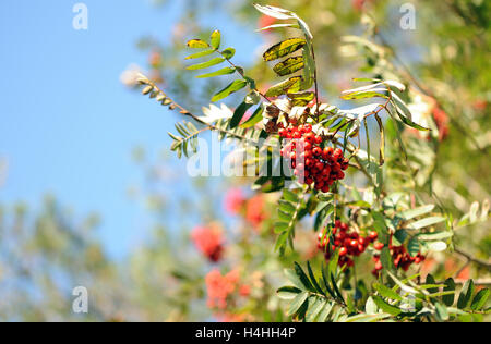 Rowan or Mountain Ash (Sorbus aucuparia) berries in autumn are ripe, red and ready for distribution by hungry birds. - Stock Image