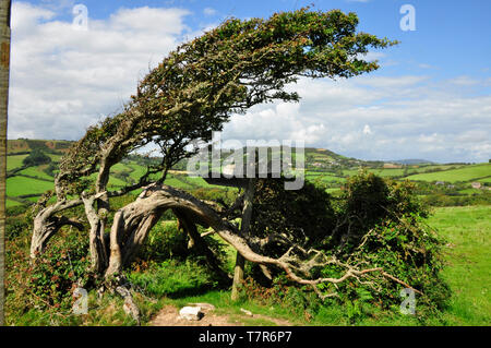 Wind sculpted bush on the slope of the Golden Cap hill on the Dorset coast with a view towards the village of Morcombelake. - Stock Image