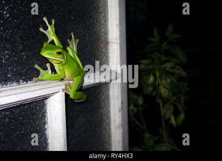 White-lipped green treefrog (Litoria infrafrenata) on kitchen window, wet season in Cairns, Queensland, Australia. No PR - Stock Image