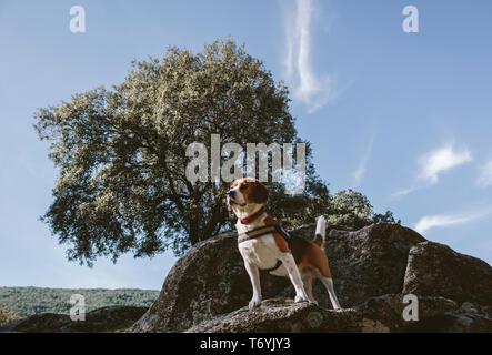 Pretty Beagle dog looks attentive on a large rock - Stock Image