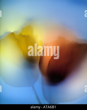 photogram of poppies - Stock Image