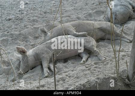 Pigs Rural Mallorca Majorca Spain Balearic Islands Mediterranean - Stock Image