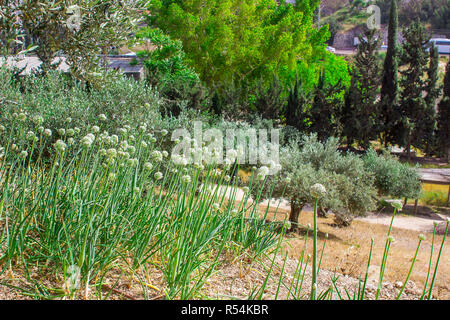 A section of the sloped vegetable garden in the open air museum of Nazareth Village Israel. This site provides an authentic look at the life and times - Stock Image
