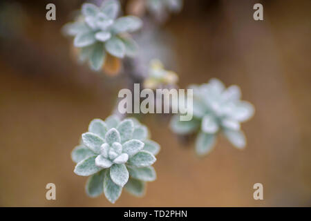 Soft focus of a the leaves of a succulent plant - Stock Image