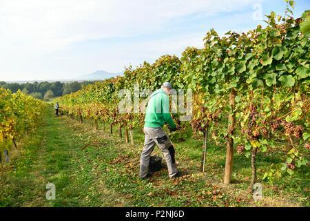 France, Bas Rhin, Alsace Wine Road, Dambach la Ville, Ruhlmann estate, grape harvest - Stock Image
