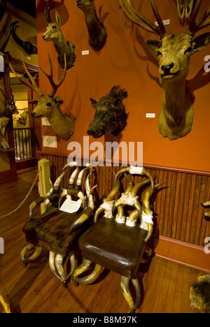 Buckhorn Saloon and Museum San Antonio Texas tx landmark above over chairs handmade from animal horns stuffed animal - Stock Image
