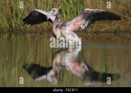 Greater Flamingo juvenile - Stock Image