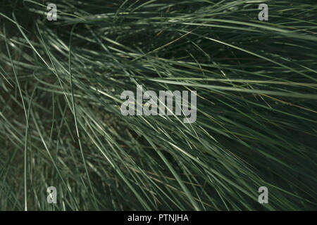 Green grass in the wind in the dunes - Stock Image