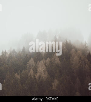 Squared image of firs tree tops in coniferous forest in the mist in winter. Adamello park, Passo del Tonale, Italy. Soft tone, melancholic and nostalg - Stock Image