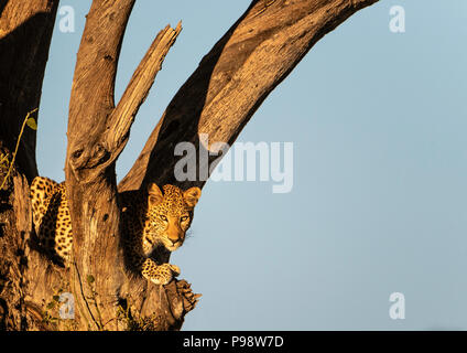 Female leopard, partly shaded watches from the branch of a tree.  Chobe National Park, Botswana. - Stock Image