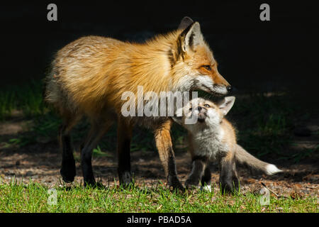 Red Fox (Vulpes vulpes) mother playing with pup, Shoshone National Forest, Wyoming, USA. - Stock Image