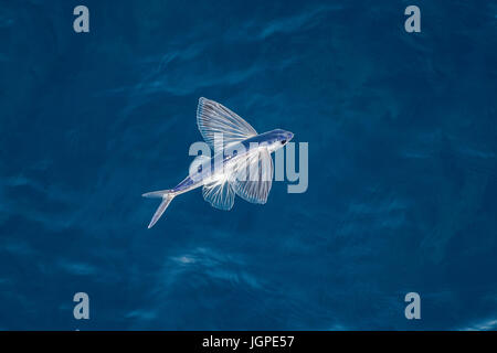 Flying fish species in mid-air, several hundred miles off Mauritania, North Africa, North Atlantic Ocean - Stock Image
