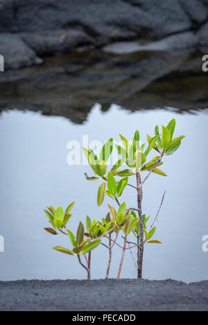 Mangrove on Lava rock, Galápagos - Stock Image