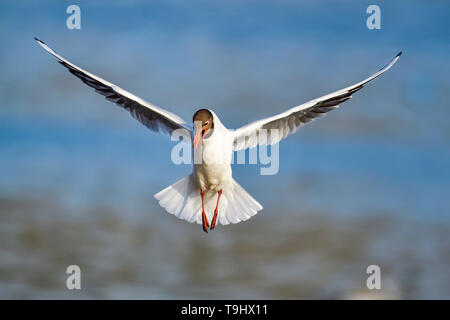 Black-headed Gull; Stand clear, I'm coming in... - Stock Image