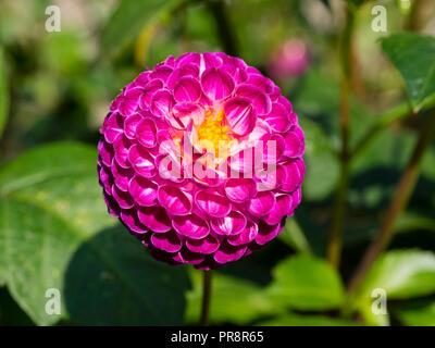 Tightly packed pink-violet petals in the small, globular head of the pompom dahlia, Dahlia 'Aurwen's Violet' - Stock Image