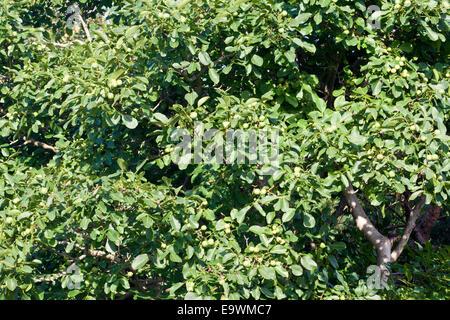 Foliage of a Walnut Tree with ripening walnuts. - Stock Image