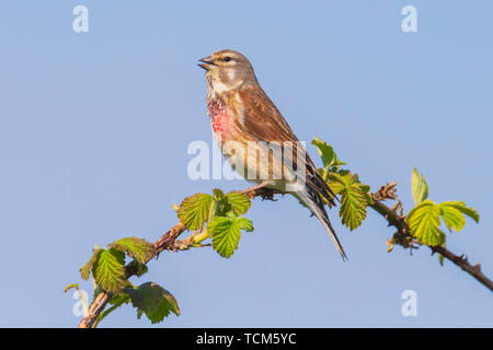 Closeup portrait of a Linnet bird male, Carduelis cannabina, display and searching for a mate during Spring season. Singing in the early morning sunli - Stock Image