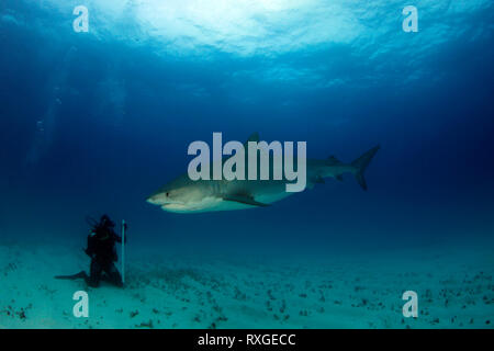 Tiger Shark (Galeocerdo cuvier). Towards a Diver Sitting on the Sand Bottom. Tiger Beach, Bahamas - Stock Image