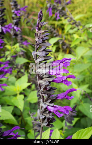 Stem and flowers of the Salvia Purple Majesty - Stock Image