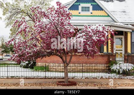 Crabapple tree dusted in springtime snow; Salida; Colorado; USA - Stock Image