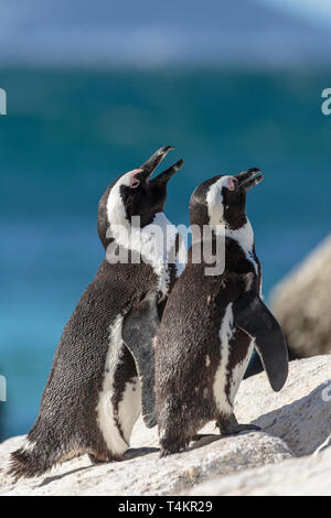 Two African penguins, Spheniscus demersus, standing on a rock enjoying the sun, at Simonstown, South Africa - Stock Image