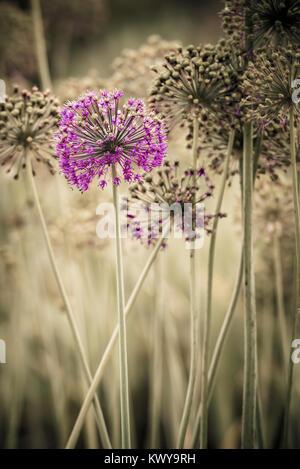 Allium flower heads. - Stock Image