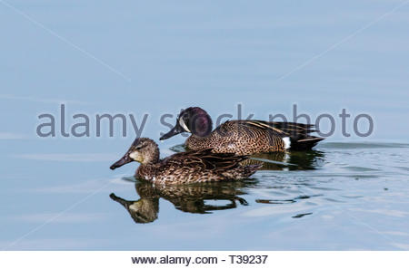 Blue-winged Teal, Anas discors, male and female swimming in pond in Arizona USA - Stock Image