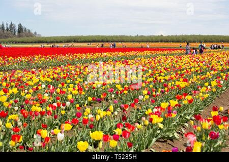 Rows of tulips at the Wooden Shoe Tulip Festival in Woodburn, Oregon, USA. - Stock Image