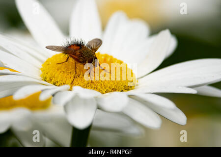 A close up of a fly feeding on a white daisy in the garden. - Stock Image