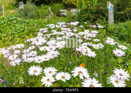 White African Daisies (Osteospermum) in Spring (May) at Highdown Gardens in Ferring (near Worthing), West Sussex, England, UK. - Stock Image
