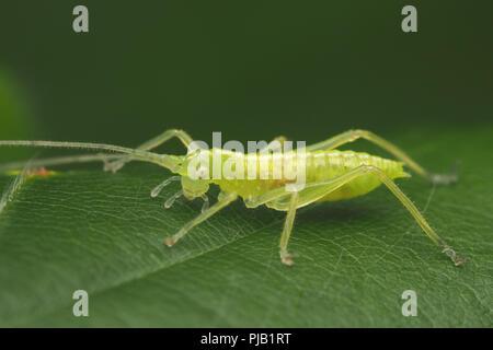 Oak Bush Cricket nymph (Meconema thalassinum) at rest on Oak leaf. Tipperary, Ireland - Stock Image