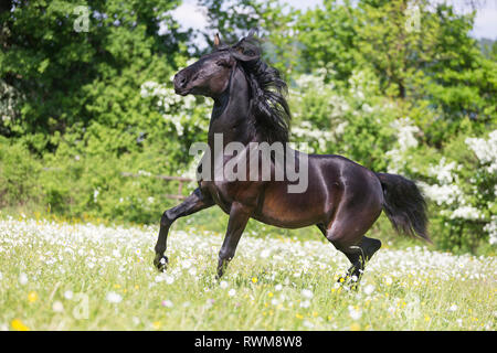 Lusitano. Juvenile black stallion showing-off on a pasture in spring. Switzerland - Stock Image