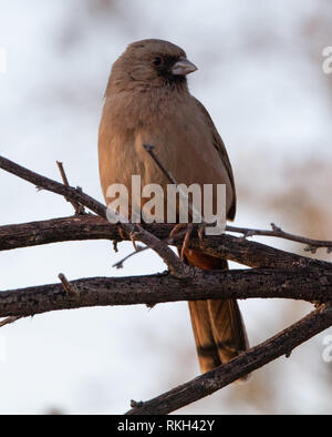 A handsome Abert's towhee (Melozone aberti) perched on a branch in the California desert near the Salton Sea - Stock Image