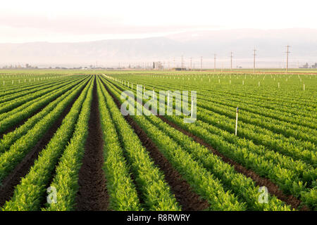 Rows of maturing Carrots at sunrise, 'in line' sprinkler irrigated field  'Daucus carota' subsp. sativus, converging rows. - Stock Image