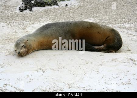 Sleeping Galapagos Sea Lion, Zalophus wollebaeki, Cerro Brujo Beach, San Cristobal Island, Galapagos Archipelago - Stock Image