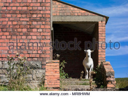 Sheep standing on the steps of the derelict canteen of the former Varteg Hill Colliery, Torfaen, Wales, UK. - Stock Image
