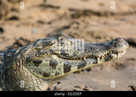 Profile of the head of a smiling Yacare Caiman, Caiman crocodilus yacare, Pantanal, Mato Grosso, Brazil, South America - Stock Image