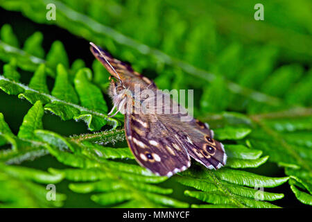 A Speckled Wood Butterfly. Found in and on the borders of woodland areas, this butterfly was found in Scarborough's Harland Mount nature reserve. - Stock Image