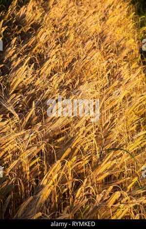 Barley Field near Seaforde in County Down - Stock Image