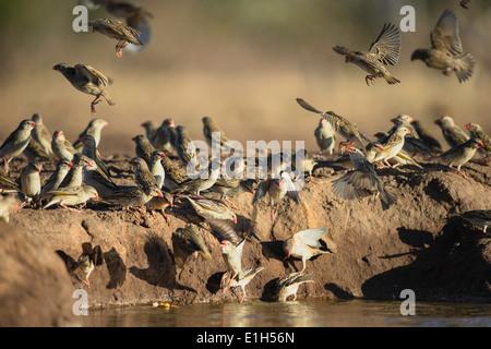 Flock of Red-Billed Quelea (Quelea quelea) at watering hole Mashatu game reserve, Botswana, Africa - Stock Image