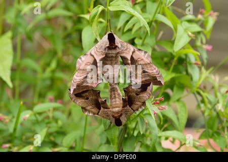Eyed hawk moth (Smerinthus ocellata: Sphingidae), mating pair, UK - Stock Image