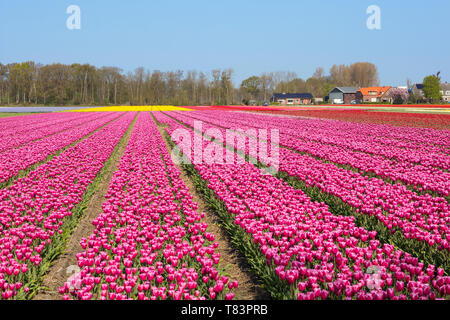 Lisse, Holland - April 18, 2019: Traditional Dutch tulip field with rows of pink flowers and farmhouses in the background - Stock Image
