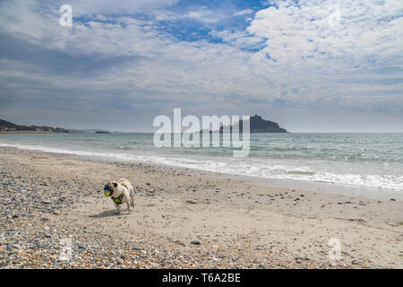 Marazion, Cornwall, UK. 30th Apr, 2019. UK Weather. Titan the Pug out on the beach on the last day of April, in fine sunny weather. From 1st May Dogs are not allowed on most beaches during the day. Credit: Simon Maycock/Alamy Live News - Stock Image