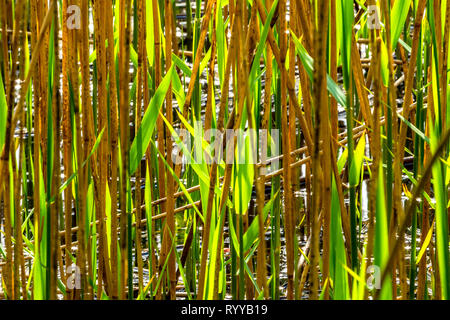 A background of reed leaves in green and brown. - Stock Image