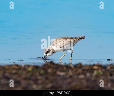 Lesser Sand Plover (Charadrius mongolus) foraging on the beach, Cape York Peninsula, Far North Queensland, FNQ, Australia - Stock Image